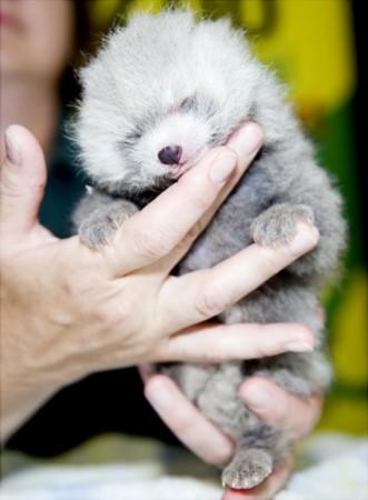 """盘点最可爱的动物宝贝""""水獭宝宝""""爱睡觉(图)"""