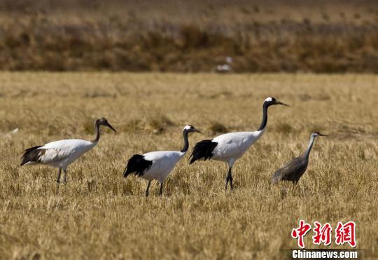 新闻中心 国内新闻 中国动态 正文    江苏盐城是丹顶鹤的主要越冬地