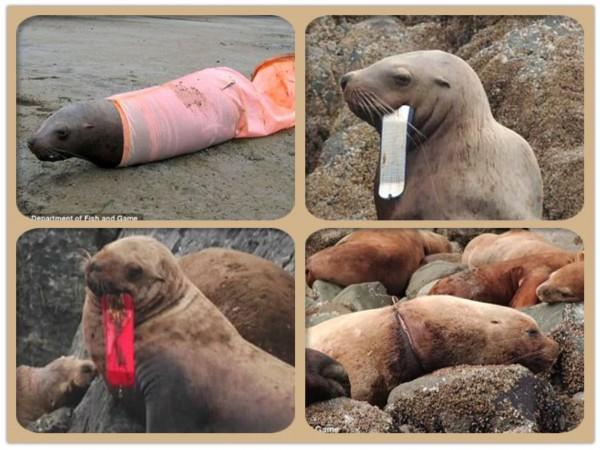 海洋垃圾残害海豹海狮:橡胶带深陷肉里