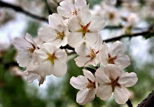 武汉樱花飘 坐高铁寻味浪漫春天