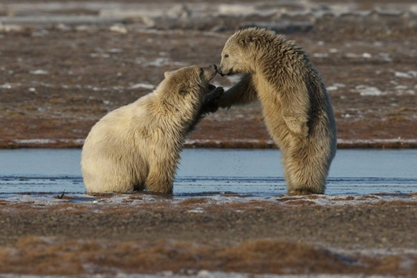 致命威胁!北极熊生存现状实录