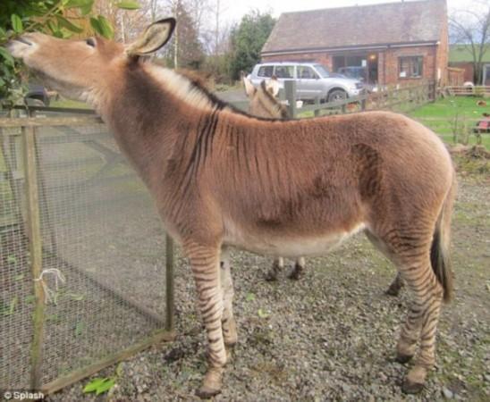 英国动物园展出斑马与驴杂交后代(图)