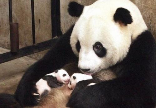 我们是可爱的大熊猫宝宝