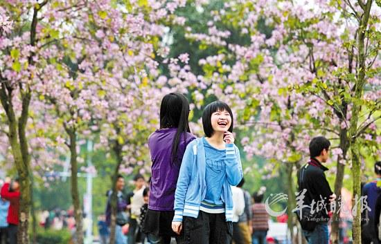华南农业大学校园内紫荆花处处盛开,令人陶醉羊城晚报记者陈秋明摄图片