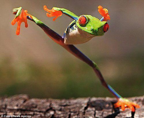 摄影师拍红眼树蛙独腿站立姿势似练踢腿(图)图片