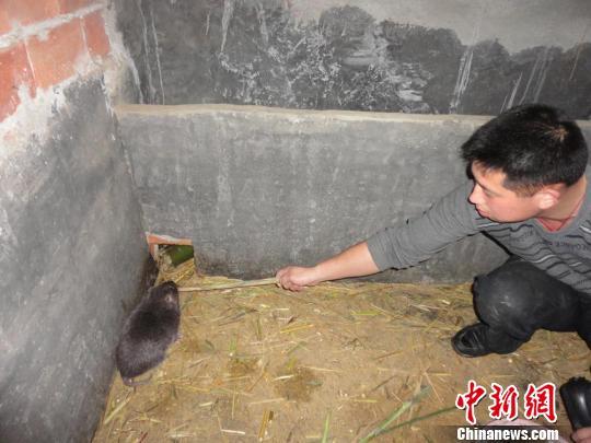 """竹鼠王"""":以鼠为伴,发鼠财   作者刘柱张兴林兰格萍   """"毛茸茸的好可爱"""