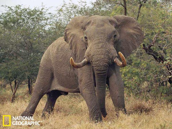 大象精彩生活场景:雄性非洲象守护领地