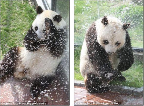烟台动物园大熊猫戏水降温可爱瞬间(图)
