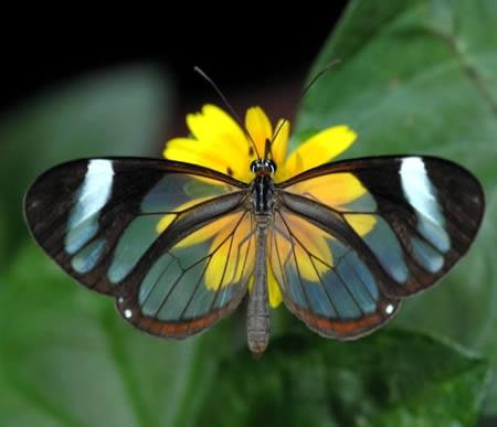 星羽蝶的羽翅