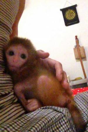 超萌袖珍小猴走红网络 宠物猴全套图片曝光(图)