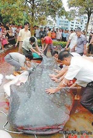 调查称水库食人鱼图片系鲸鲨解剖图拼接