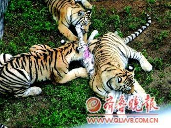 威海野生动物园三只孟加拉虎咬死一白虎
