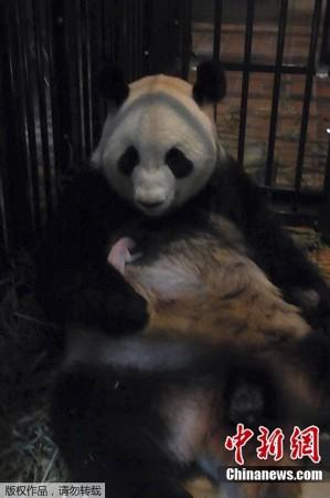 旅日大熊猫 真真 所产幼崽夭折图片 29101 299x450