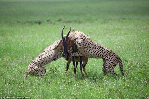 摄影师拍摄猎豹母子温情 豹崽抱妈妈撒娇
