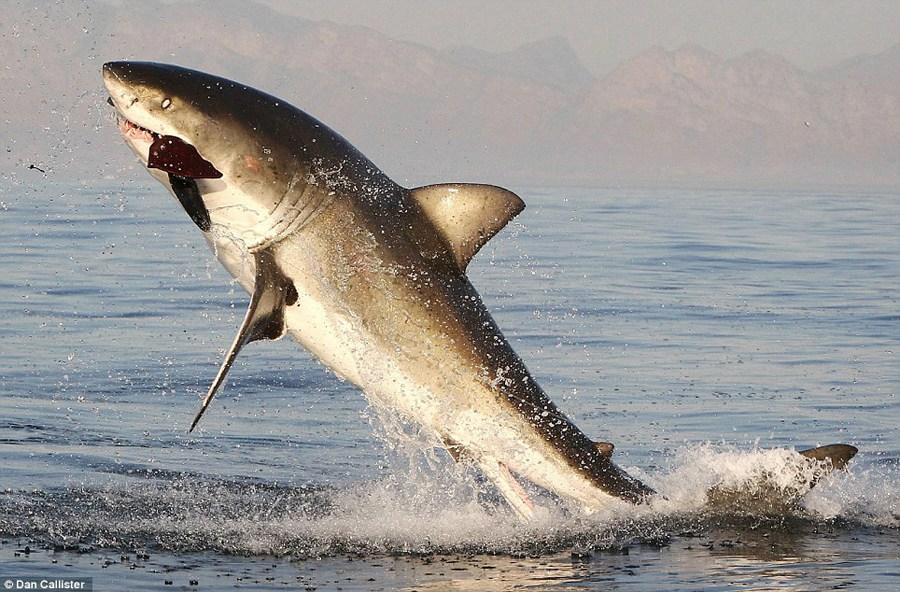 大白鲨捕食海豹被崩掉牙齿