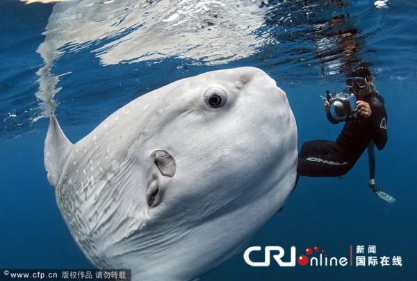 摄影师水下拍摄巨型翻车鱼 形似外星生物
