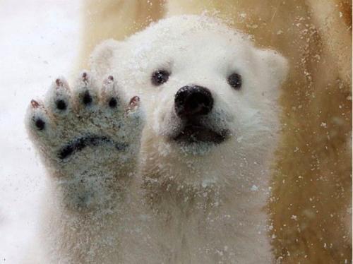 在丹麦的奥尔堡动物园里,一头只有三个月大的北极熊第一次看到雪