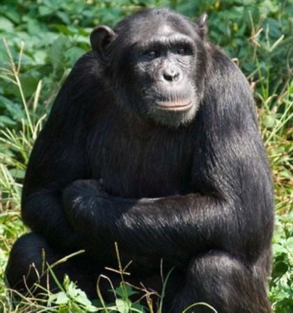 研究称黑猩猩娜塔莎为动物园最聪明动物
