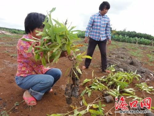 许多景观树苗都被连根拔起,横七竖八地扔在山坡上,地上密密麻麻地挖了