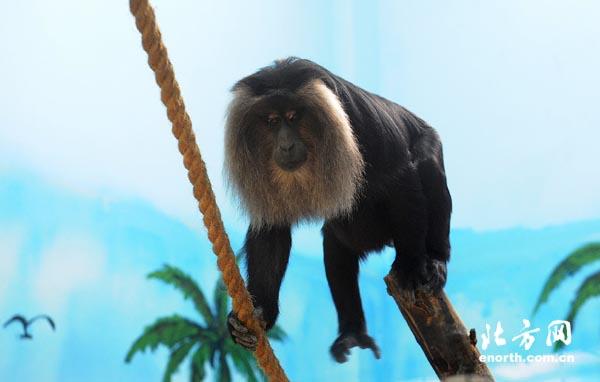 9月24日,天津动物园引进世界珍稀灵长类动物狮尾猴和白臀长尾猴(又名