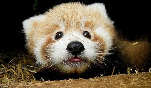 可爱小熊猫宝宝亮相英国动物园 萌倒众人(图)