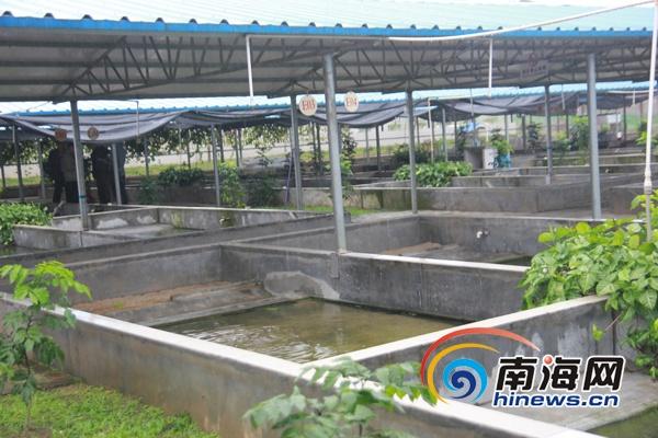 儋州农民农家庭院经济养龟 金钱龟价值甚于黄金