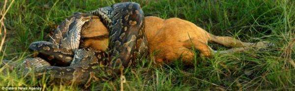巨蟒活吞狮子