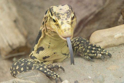 自然界的十种高智商动物:聪明巨蜥引开母鳄鱼觅食