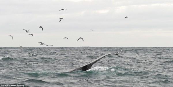 近距离观赏座头鲸:纵身飞跃海面水花四溅