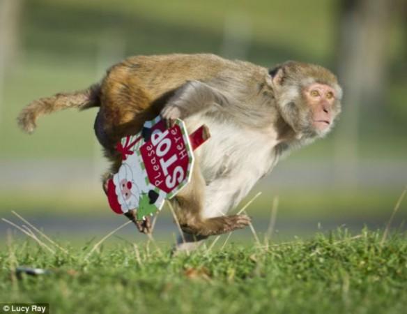 """顿顿吃香蕉 英猕猴收到香蕉圣诞礼物""""失望至极""""/组图"""