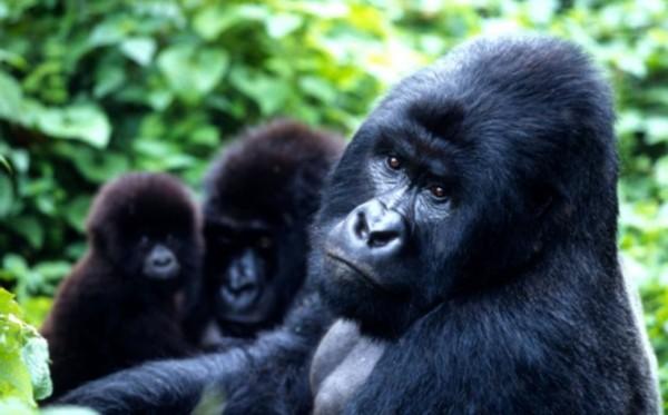 目前,其已被世界野生动物基金会列为2012年10大濒危物种之一.