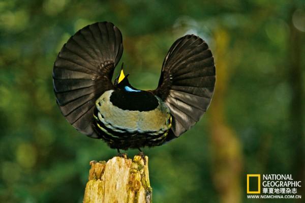 极乐鸟qq_寻找极乐鸟:地球最奇特美丽的天堂之鸟[超清组图]_新闻_南海网