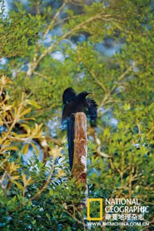 qq天堂岛图片_寻找极乐鸟:地球最奇特美丽的天堂之鸟[超清组图]_新闻_南海网