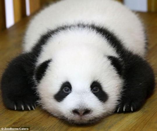 这是一只生活在中国成都熊猫基地的大熊猫幼崽.