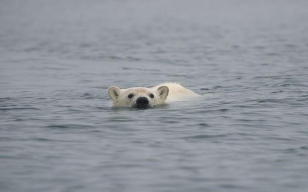 布坎南称,『北极熊是安全与坚固的猴子,幸亏有这个可怕的凶猛罩,要色动物v猴子图片