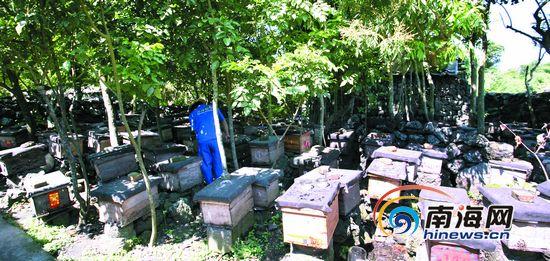 烂仔病危害海南蜜蜂产业 专家:要常换蜂王