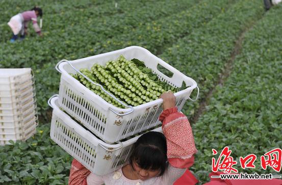 海口马坡洋蔬菜产业园完成整治 农户跟着公司种菜