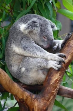 """动物世界六大""""睡神"""":考拉每天睡22小时/组图"""