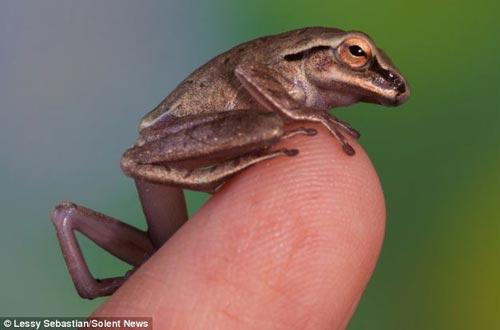 微型透明青蛙栖息火柴棍上 摆出优美姿态(图)