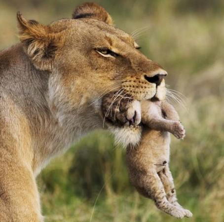 动物也温情:凶猛母狮口叼幼子展母性柔情(组图)