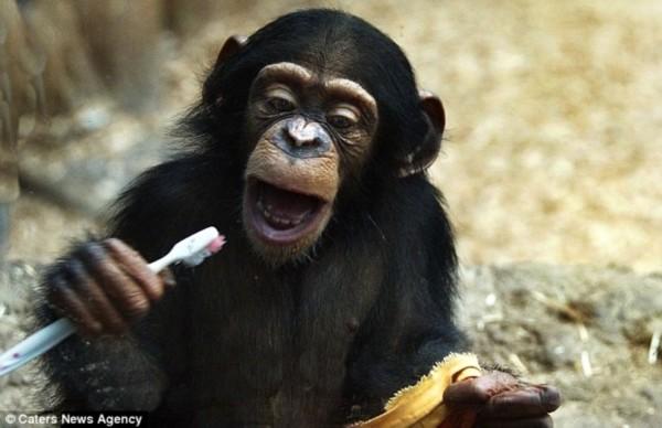 科学探索    英国《每日邮报》3月3日刊登了一组猩猩幼仔模仿动物园的