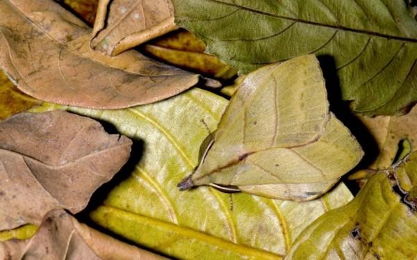 林蟋蟀看起来与植物叶子的形状和颜色极为相似.-奇妙的动物伪装