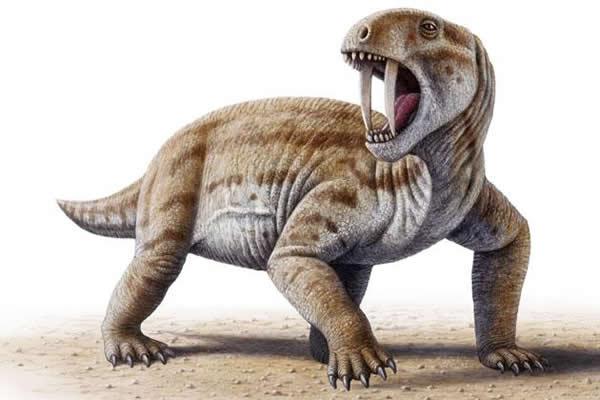 2亿6千万年前长着剑齿的奇特食草动物头骨化石(uux.cn)   研究人员的发现还对兽孔类动物的牙齿咬合提供了某些最早期的证据,即在其口腔中,顶部和底部的牙齿可相互适配地进行有效的咀嚼。牙齿咬合可能帮助了Tiarajudens (其大小如一只大体型的狗)及其同类的异齿龙类的动物咀嚼高纤维含量的植物,其结果是将该类动物的活动范围扩展到了新的生态生境之中。   但是,食草动物为什么需要剑齿呢?研究人员提出,Tiarajudens可能会像如今的麝鹿那样使用剑齿:用于吓跑掠食动物及也许还可与竞争者争斗。(神