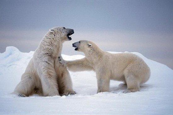 北极熊并非起源阿拉斯加岛屿 其身世仍是谜团/图