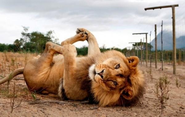 老虎狮子的可爱一面:亲近人类显猫性(图)