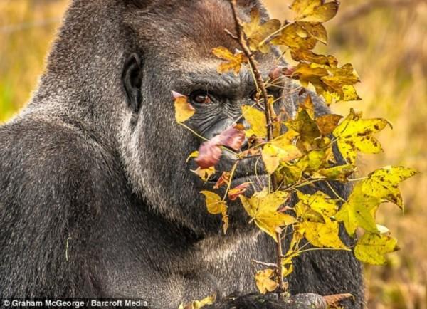 动物 搞笑/业余摄影师格雷厄姆现年41岁,他花了6个月时间拍到这组照片。