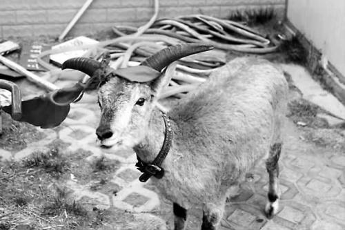 二级保护动物盘羊迷路 误闯小学被移交警方