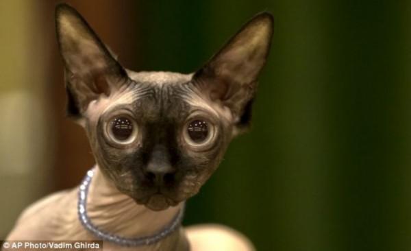 英国《每日邮报》报道称,斯芬克斯猫起源于加拿大的多伦多,十九世纪六十年代,通过对无毛猫的小心培育,它们来到了这个世界。这种长着皱纹的古怪猫咪近几年才进入英格兰。由于其像李子干的皮肤和不成比例的大眼,斯芬克斯猫经常被认为是最丑的猫种,但它们仍很有名。因为拥有一群忠实的粉丝,稀有的斯芬克斯猫的价格一度可达到3000英镑(约合3万美元)。   除了这种在长相与众不同的斯芬克斯猫,这次比赛也有惹人喜爱的传统品种,比如英国短毛猫,挪威森林猫和俄罗斯蓝猫。即使一些猫儿性情非常温和,行为规范,但只有外貌才是评审的