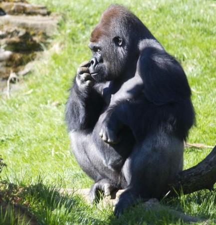 15岁大的雄性银背大猩猩kumbuka两周前从英国佩顿的动物园搬到了伦敦