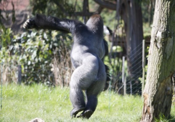 图集详情:   【环球网综合报道】据英国《每日邮报》5月3日报道,15岁大的雄性银背大猩猩Kumbuka两周前从英国佩顿的动物园搬到了伦敦动物园,它此行的目的是与该动物园的三只雌性大猩猩交配,以壮大它们这种濒临灭绝的物种数量。   动物园饲养员说,这只雄性银背大猩猩在新的环境适应的很好,并且已经开始展示它顽皮的一面,它喜欢咬领地内小树树枝,当饲养员清理它的住所时,它喜欢站在水龙软管的喷雾处。但是这只大猩猩对动物园的食物似乎不买账,当给了他一个绿青椒后他对着镜头做鬼脸,并且自顾自挖起了鼻子,根本不理会